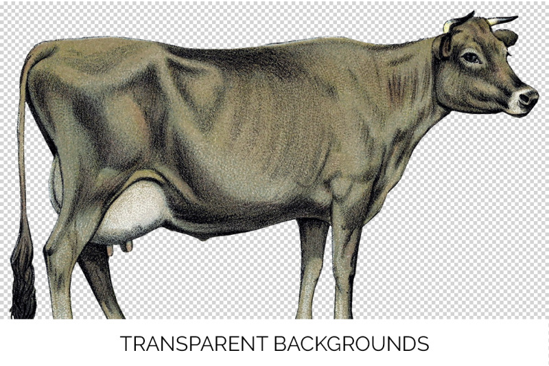 cow-clipart-jersey