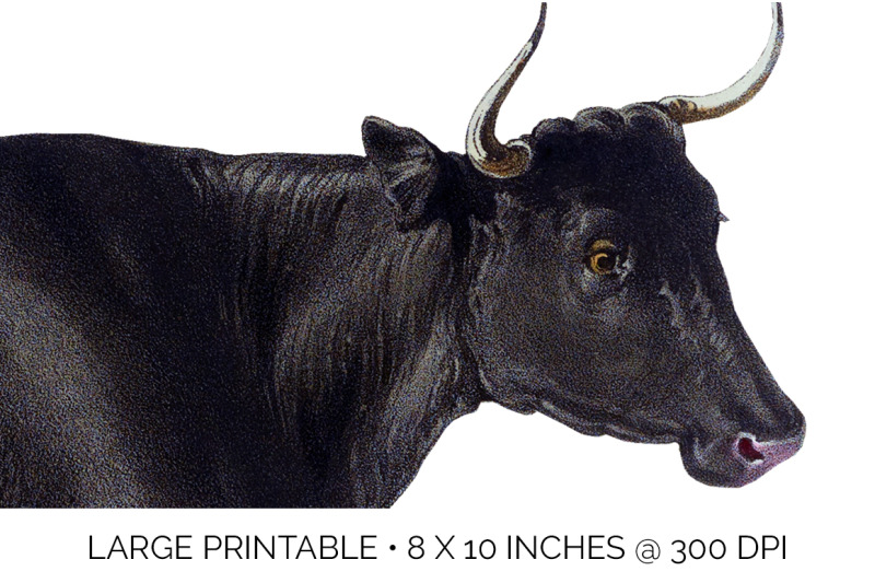 cow-clipart-fifeshire