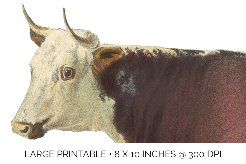 cow-clipart-hereford
