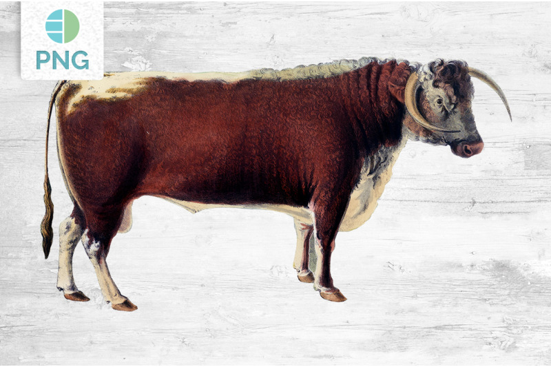 cow-clipart-long-horned