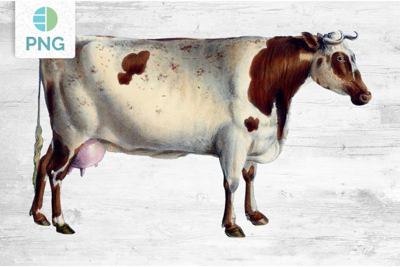 cow-clipart-short-horned