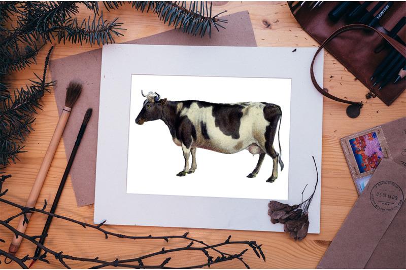 cow-clipart-zetland