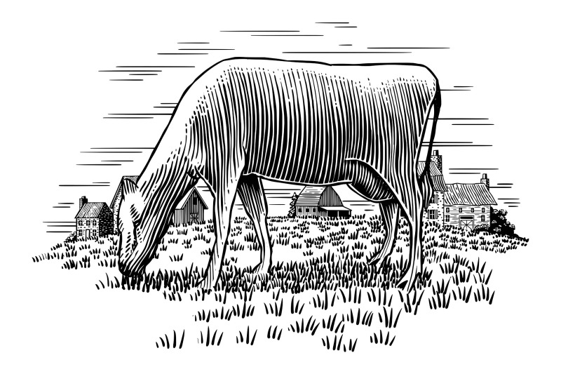 cow-grazing