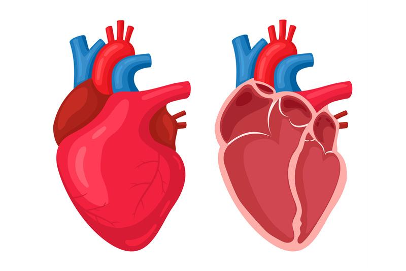 human-heart-anatomical-muscular-human-pumps-blood-organ-cutaway-inte