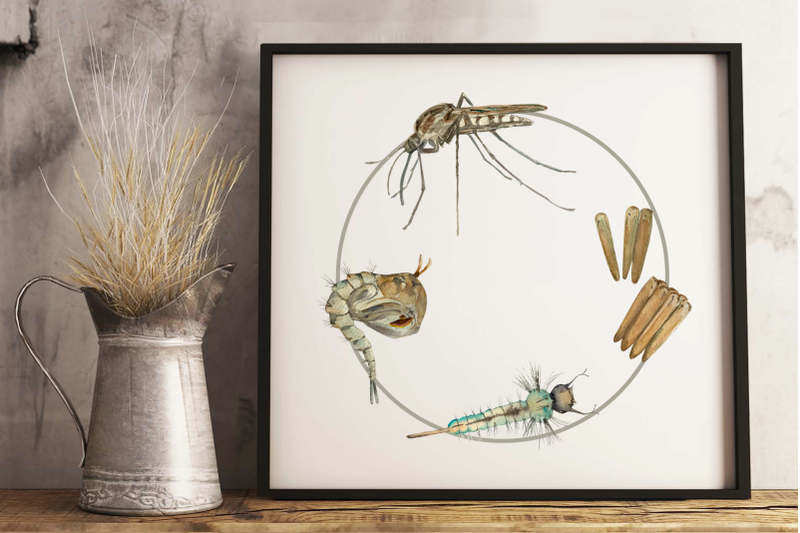 mosquito-life-cycle-clip-arts-and-print