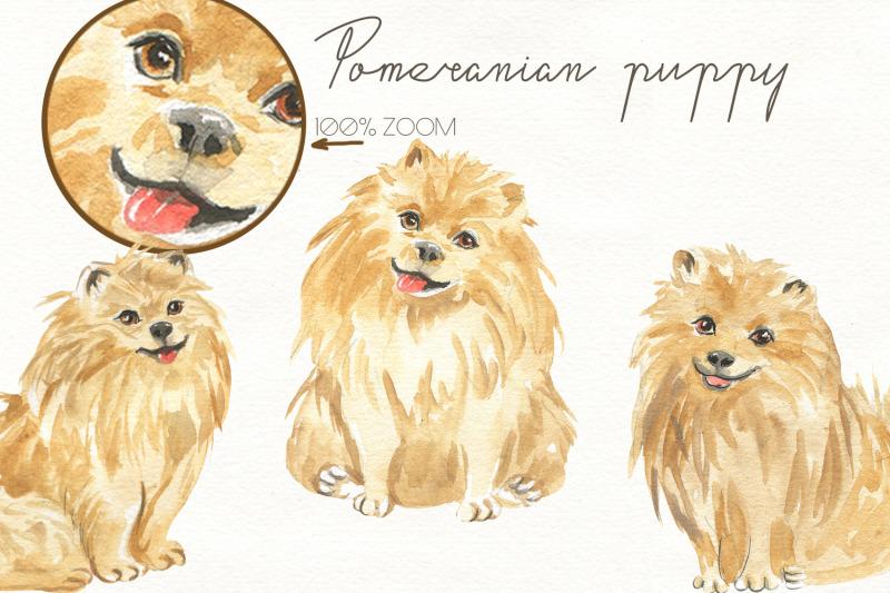 pomeranian-puppy