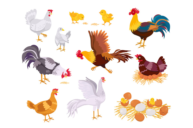 cartoon-farm-chicken-family-rooster-hen-and-chicks-flat-domestic-bi