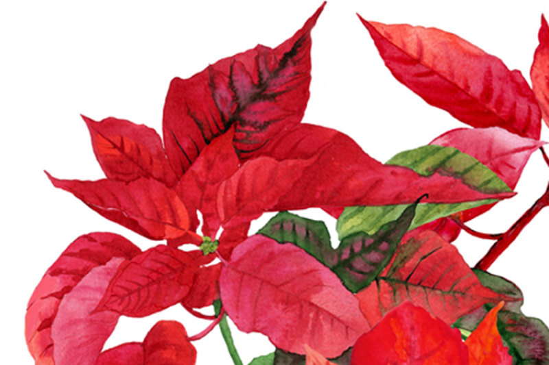 christmas-poinsettia