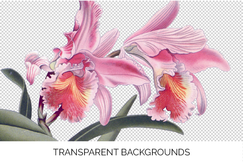orchid-clipart