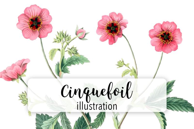 cinquefoil-pink-vintage-watercolor-flowers