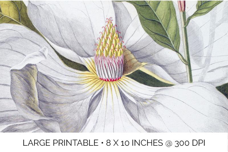 magnolia-clipart