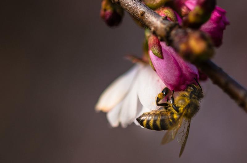 bumblebee-on-a-flower-clouseup