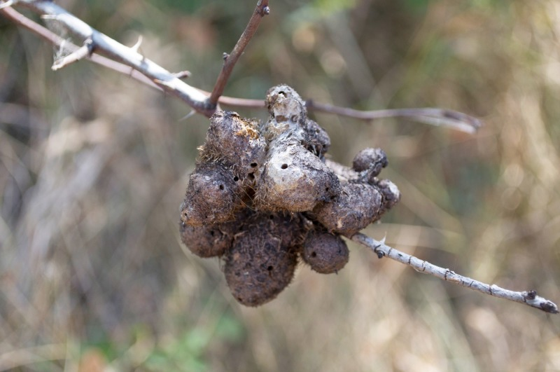 galls-insects-rosalie-gall-fly-hanging-on-a-branch-old-and-new-house-its-larvae-a-set-of-three-pictures-of-300-dpi-in-high-quality