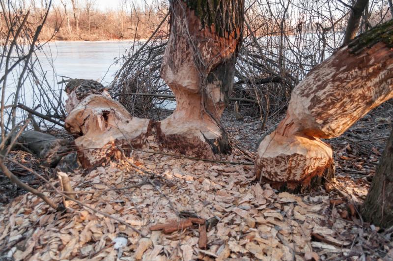 beavers-chewed-trees-in-hydropark-kiev-ukraine-two-photos-jpeg-300-dpi
