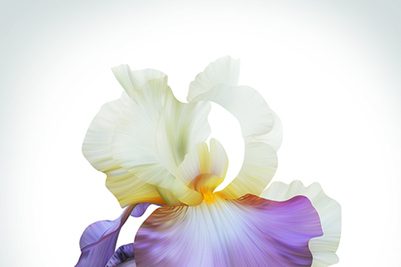lovely-royal-iris-on-light-backdrop-beautiful-spring-illustration-for-posters