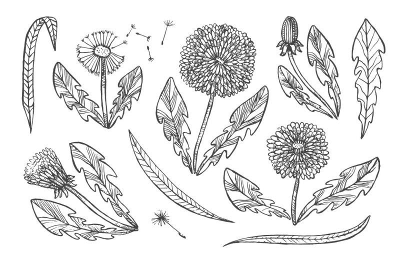 vector-dandelions