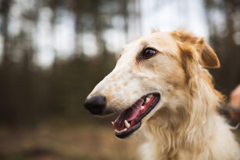 portrait-of-a-russian-greyhound