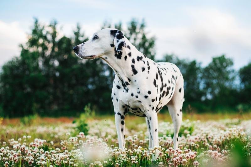 adorable-dalmatian-dog-outdoors-in-summer