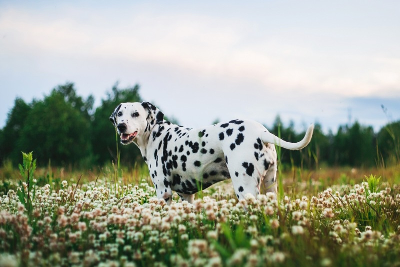 adorable-dalmatian-dog-outdoors-in-summer
