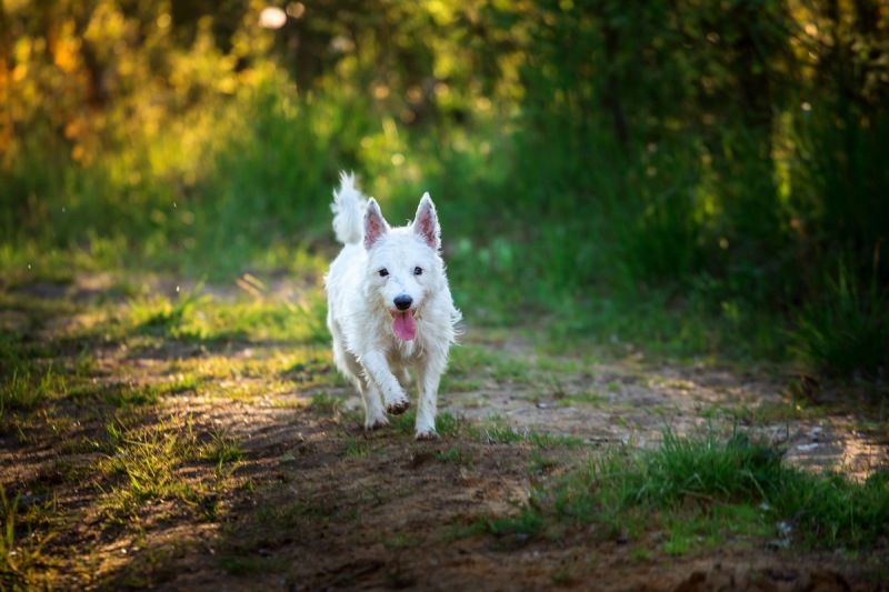 small-dog-running-on-the-road-in-meadow