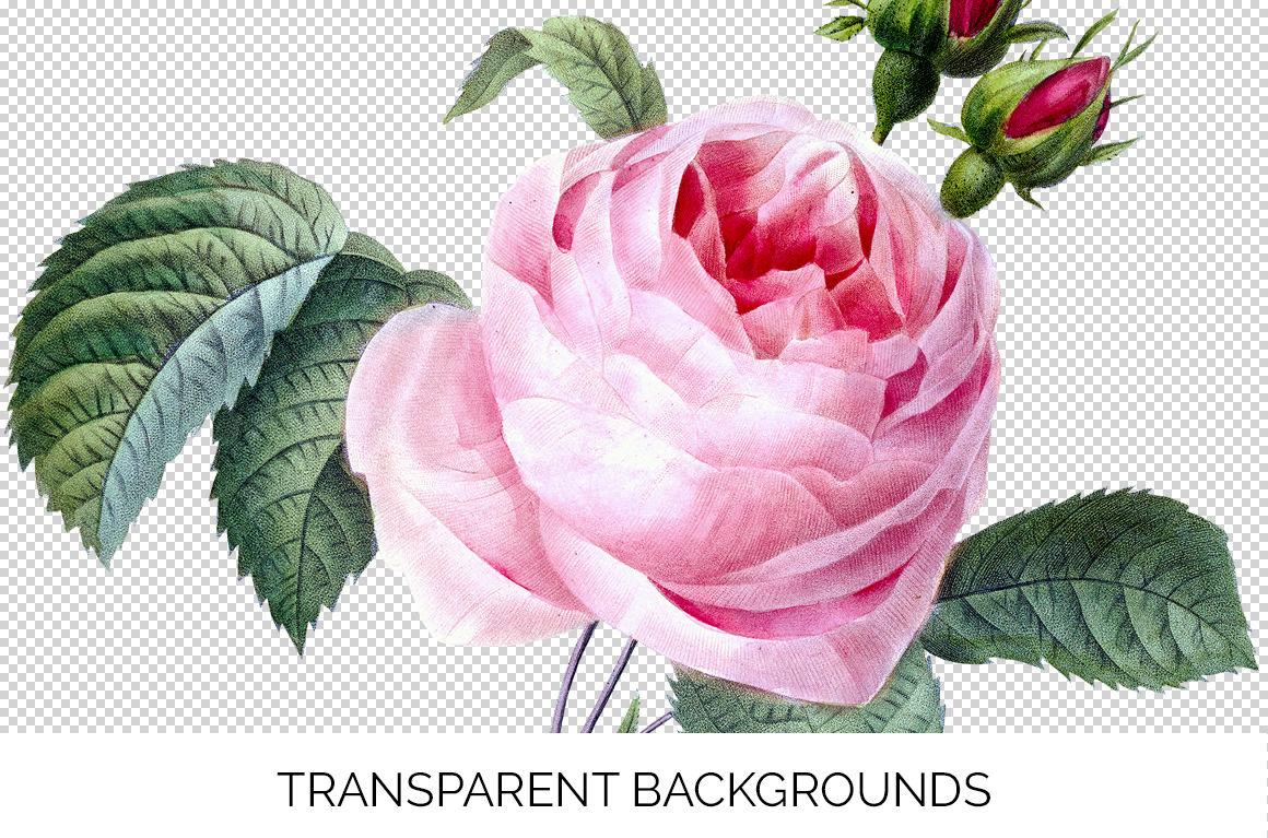 Pink Rose Vintage Flowers Cabbage Rose By Enliven Designs