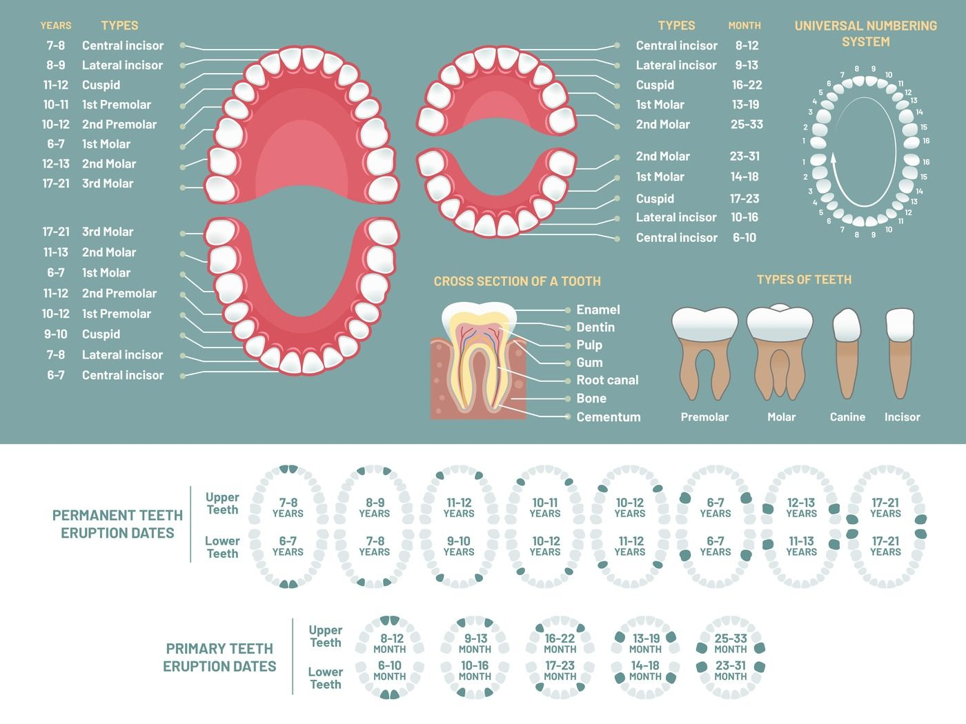 Tooth Anatomy Chart  Orthodontist Human Teeth Loss Diagram