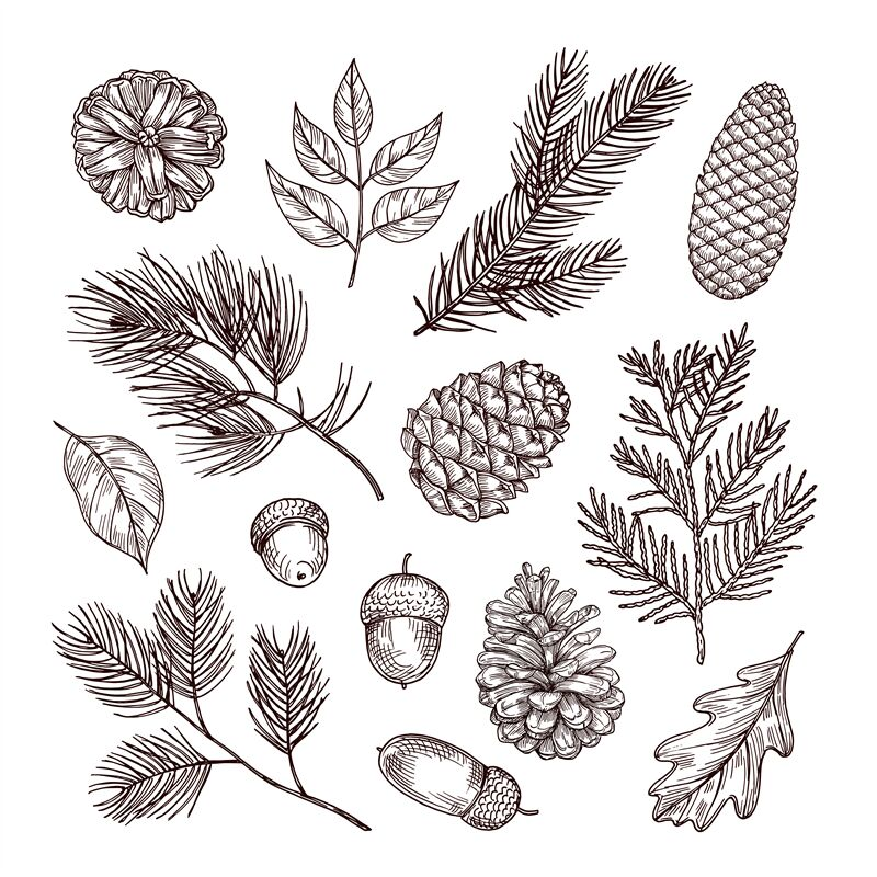 Sketch Fir Branches Acorns And Pine Cones Christmas Winter And