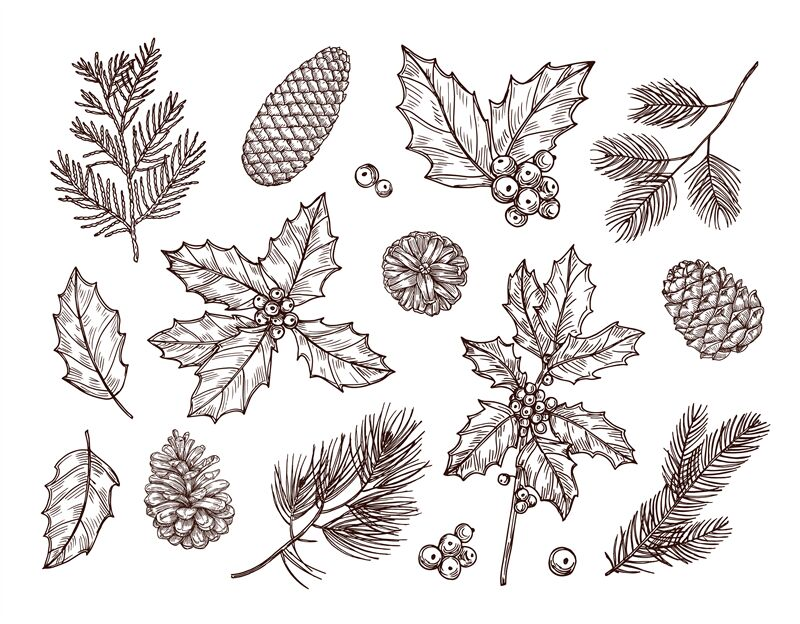 Christmas Plants Sketch Fir Branches Pine Cones And Holly Leaves