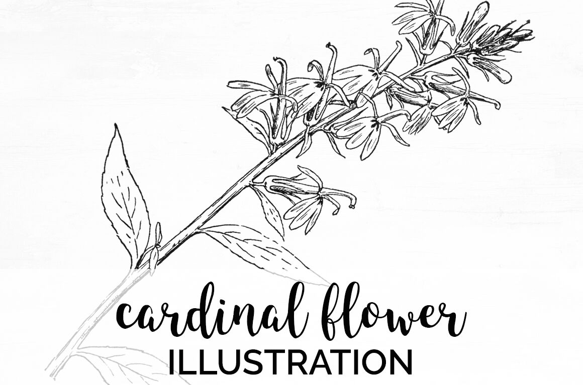 Flowers Cardinal Flower Vintage Clipart Graphics By Enliven