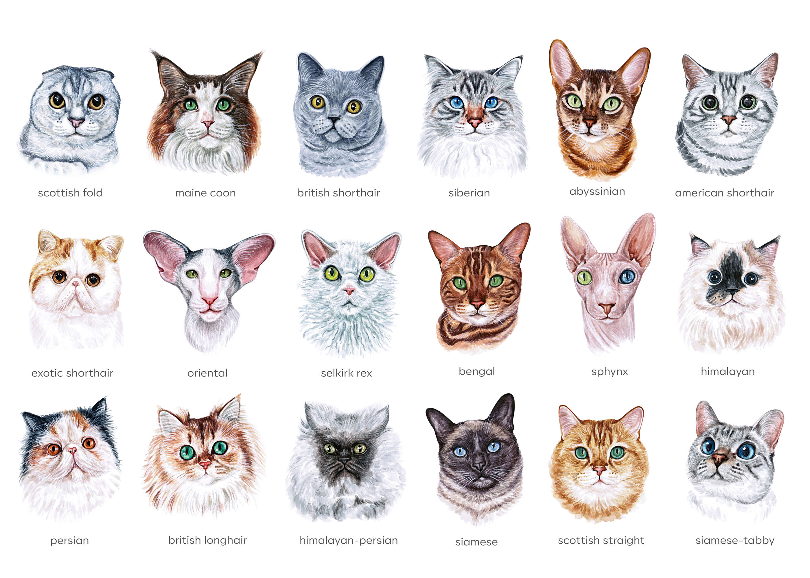 Watercolor Set Illustrations Cat Breeds Cute 18 Cats By Susik Shop Thehungryjpeg Com